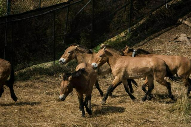 6匹普氏野马在内蒙古大青山国家级自然保护区放归