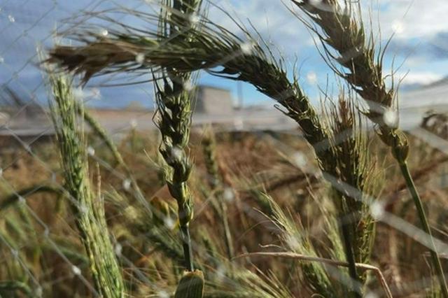 """锡林郭勒市:与牧草杂交的小麦新品种""""诞生记"""""""