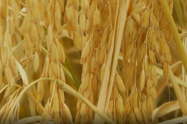 兴安盟科右中旗五万亩水稻喜获丰收 进入集中收割期