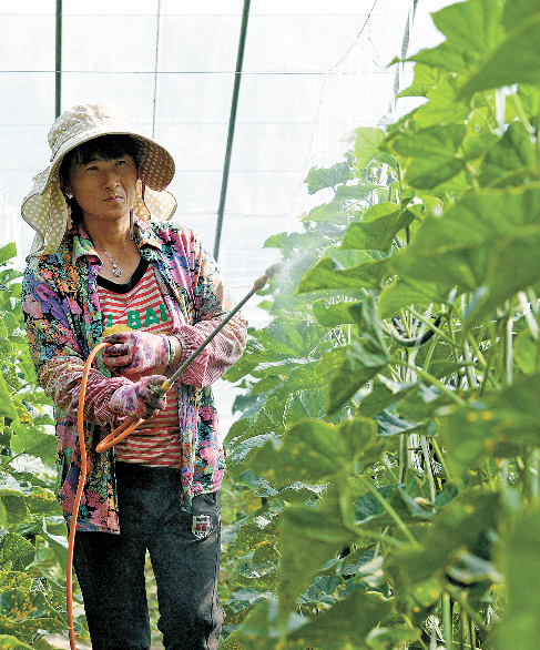 给黄瓜喷洒营养液 摄影/内蒙古日报社融媒体记者 孟和朝鲁