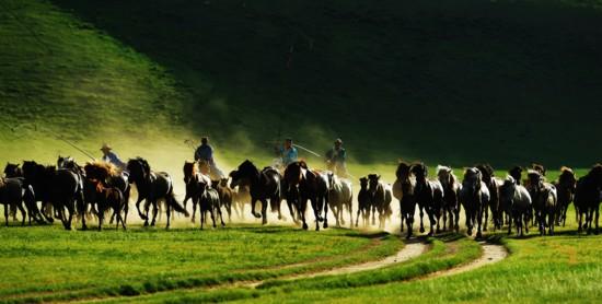 骏马驰骋草原。时下,内蒙古锡林郭勒盟西乌珠穆沁旗草原迎来一年中最美的季节。当地牧民们赶着马匹,来到草原上驯马,为游客呈现群马奔腾的壮观景象。