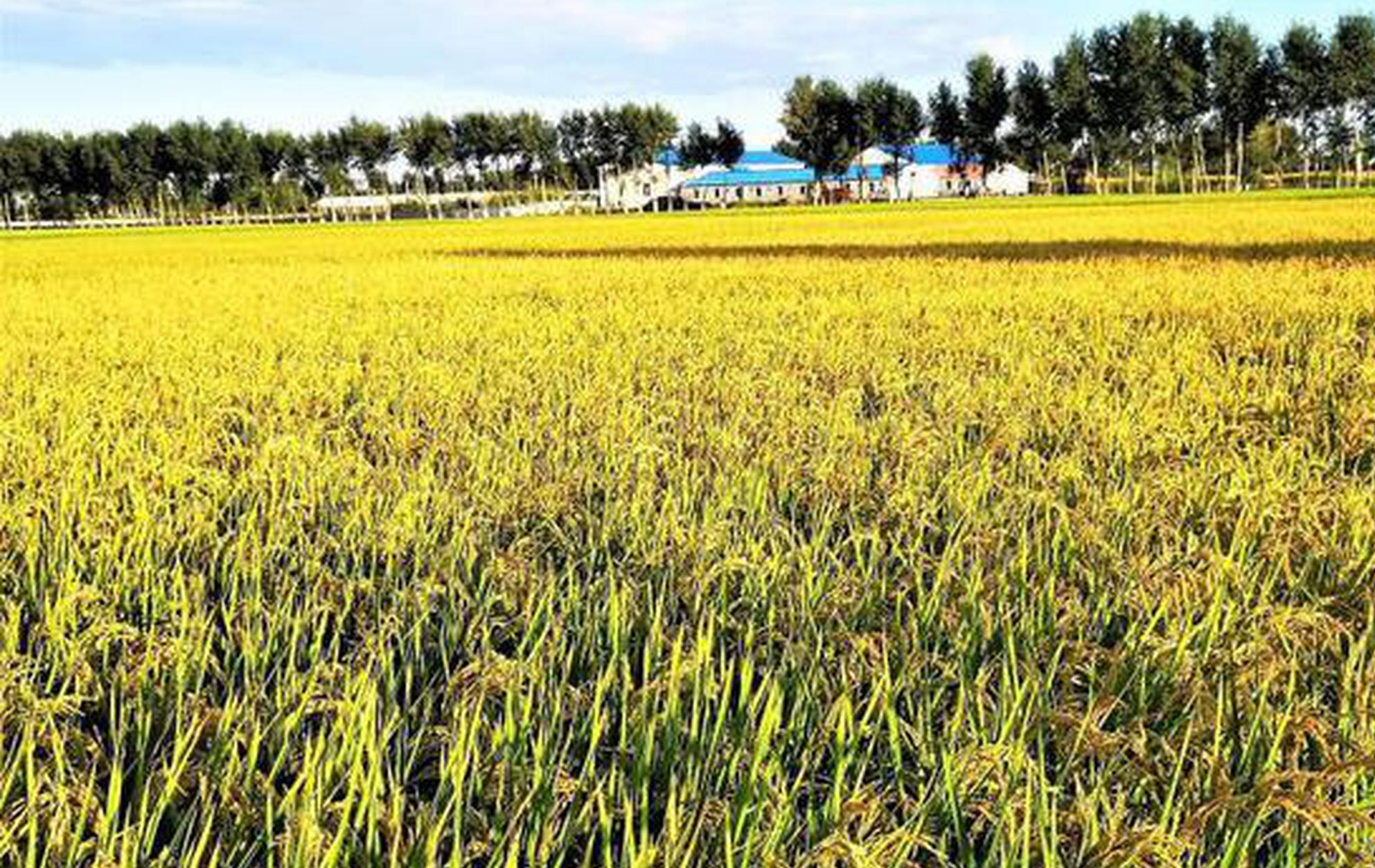 """内蒙古金稻之乡打造乡村振兴样板区:""""稻""""出新经济"""