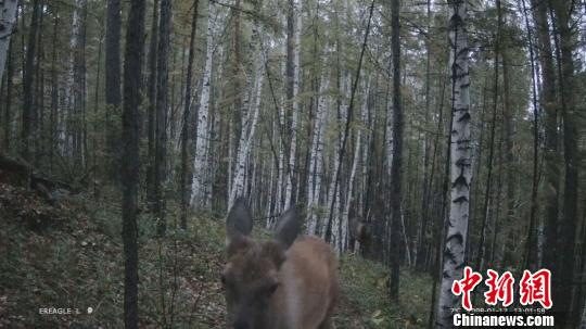 图为内蒙古大兴安岭北部原始林区森林管护局通过远红外线摄像器材获取的珍稀动物视频截图。内蒙古大兴安岭北部原始林区森林管护局供图