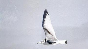 """罕见鸟种""""三趾鸥""""于呼伦湖出没"""