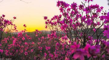 """阿尔山""""杜鹃花开""""花季旅游活动开启"""