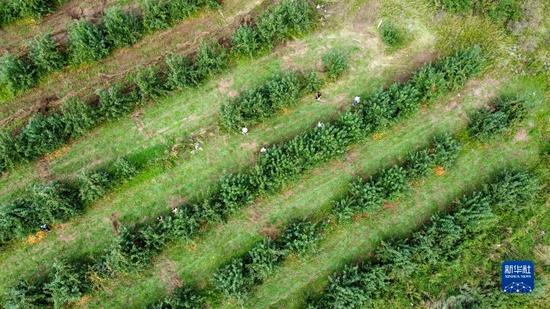 9月4日,游客在內蒙古興安盟突泉縣學田鄉采摘沙果(無人機照片)。貝赫 攝
