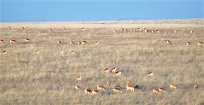 在边境地带觅食的野生黄羊 摄影/张春祥
