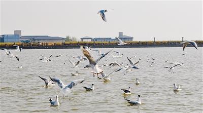 在乌海湖上嬉戏觅食的红嘴鸥。