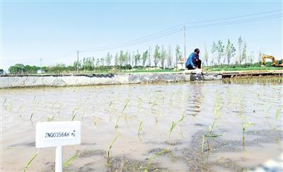 5月23日,工作人员正在呼和浩特市土左旗恰台基村的有机水稻种植区查看水稻秧苗长势。本报记者 安寅东 摄