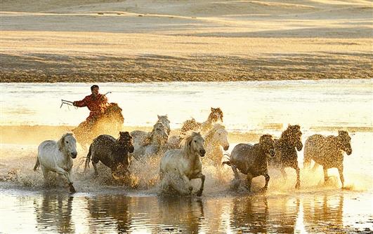 10月3日,马群在乌兰布统草原上奔跑。全媒体记者 王正摄影报道