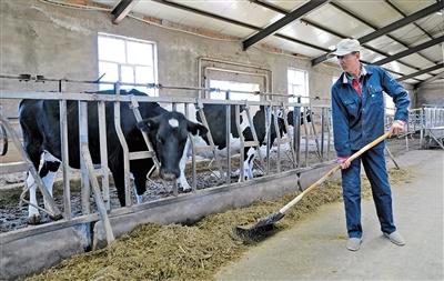 集中饲养的奶牛。