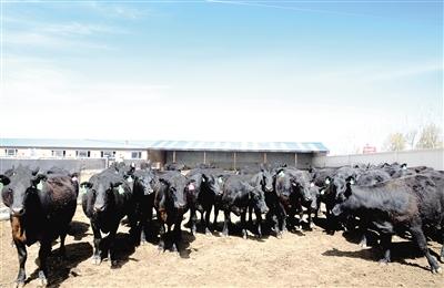 养殖合作社里膘肥体壮的安格斯牛。
