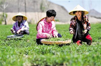 5月30日,王玲玲和农户一起采摘黄芩茶嫩叶。马建荃 摄