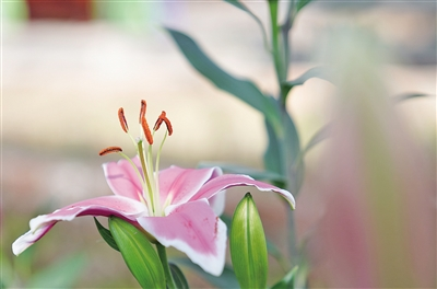 杭锦后旗推动花卉种植