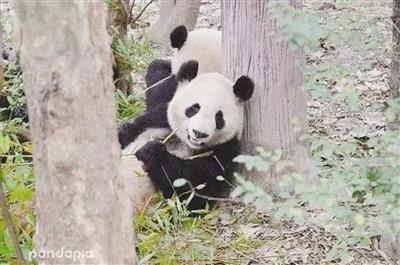 """大熊猫""""茜茜""""(资料图片)"""