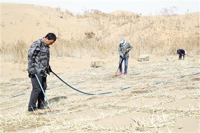 图为林业局工人在沙漠里栽种梭梭。
