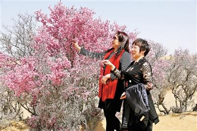蒙古扁桃花吸引着八方游客前来踏青赏花拍照。
