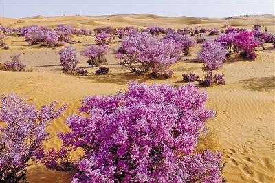 蒙古扁桃迎着春日的阳光竞相绽放。
