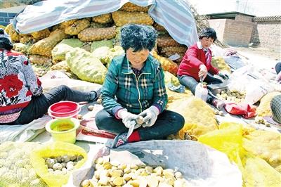 呼和浩特市和林格尔县,农民在给土豆种切块。