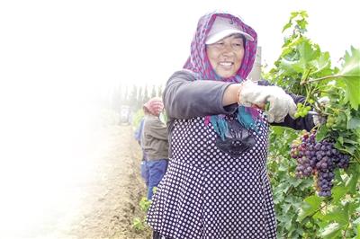 特色葡萄产业让农区充满生机。 邬大伟 摄
