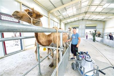 8月7日,额济纳旗驼奶产业基地的工作人员正在采集驼奶。