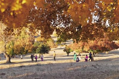 10月6日,游客在兴安盟科右中旗代钦塔拉五角枫景区欣赏枫叶林红叶。 本报记者 王晓博 摄