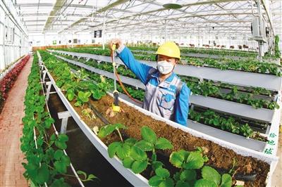 草莓工厂。