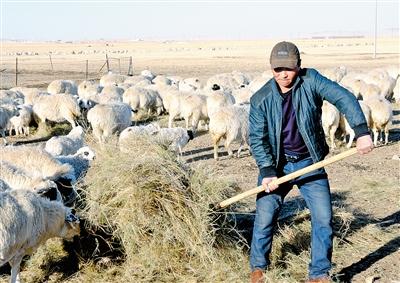 毛海为羊群散放饲草。