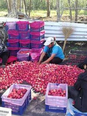 通辽市科尔沁区锦绣海棠喜获丰收
