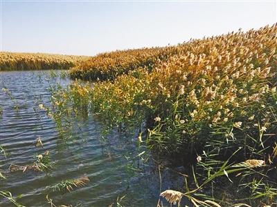 生态恢复后,居延海湿地的植被日渐繁茂。刘宏章 摄