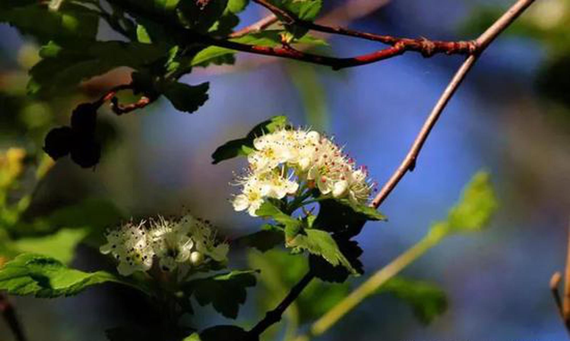 呼伦贝尔六月份的花有哪些可以看到