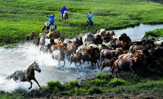 骏马水中奔腾。时下,内蒙古锡林郭勒盟西乌珠穆沁旗草原迎来一年中最美的季节。当地牧民们赶着马匹,来到草原上驯马,为游客呈现群马奔腾的壮观景象。