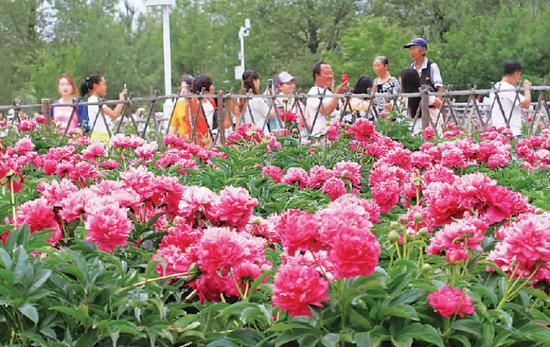 6月2日,游客在和林格尔县南山旅游景区游览芍药花田。