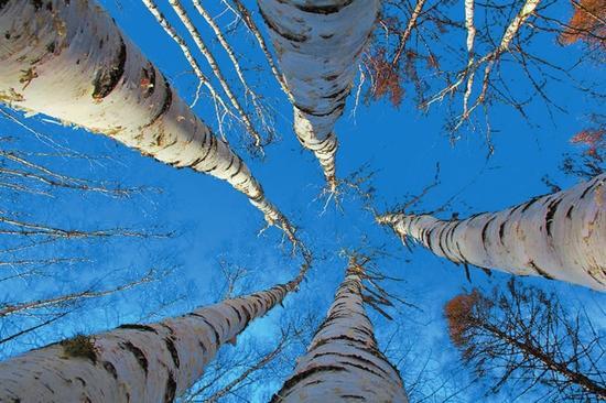 白桦树在蓝天的衬托下显得更加挺拔。