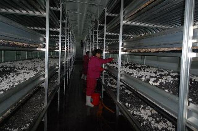 内蒙古最大双孢菇工厂化种植基地 在包头投产