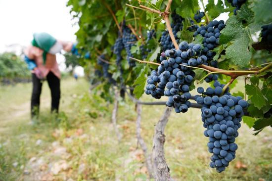 在宁夏银川市一家酿酒葡萄种植基地,工作人员在打理葡萄(2018年9月14日)。新华社记者 陈斌 摄