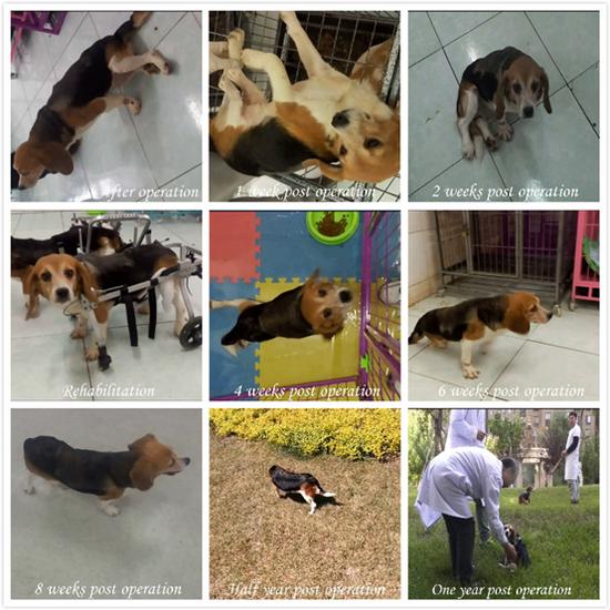 图为,狗在脊髓离断手术后各个时期恢复情况的拼板照片。资料片