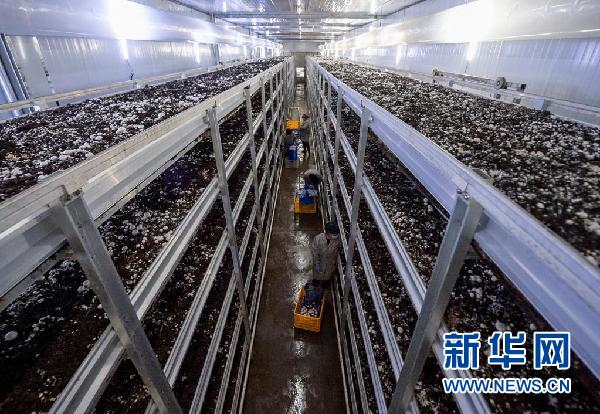 在宁夏银川市永宁县闽宁镇双孢菇栽培示范基地,农民在采摘蘑菇(2020年3月18日摄)。新华社记者 杨植森 摄