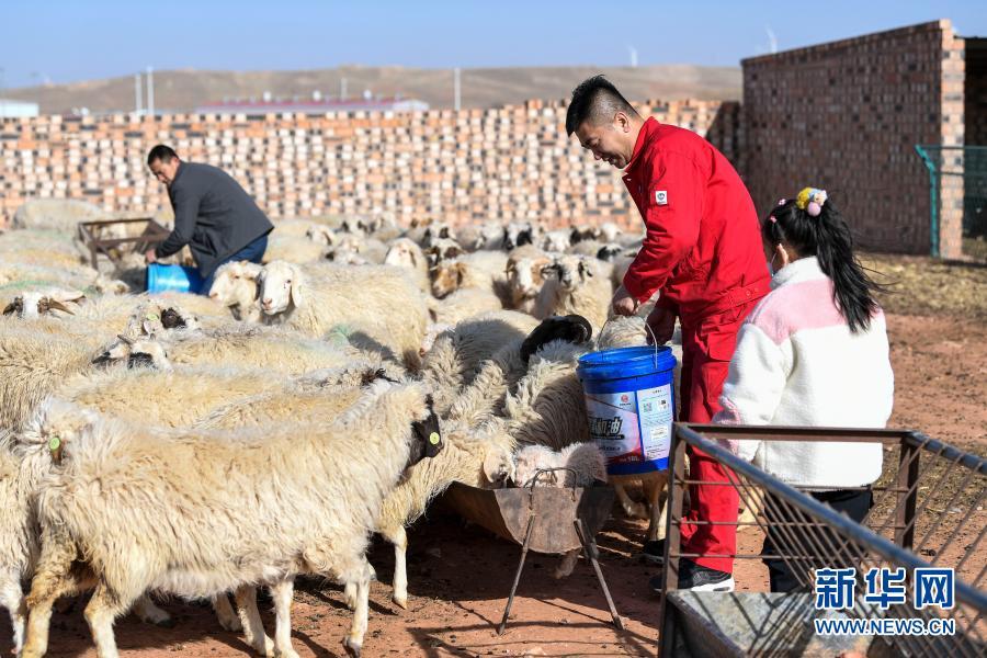 2月11日除夕当天,王涛(右二)在帮助返乡创业青年李吉文(左一)给滩羊喂食。