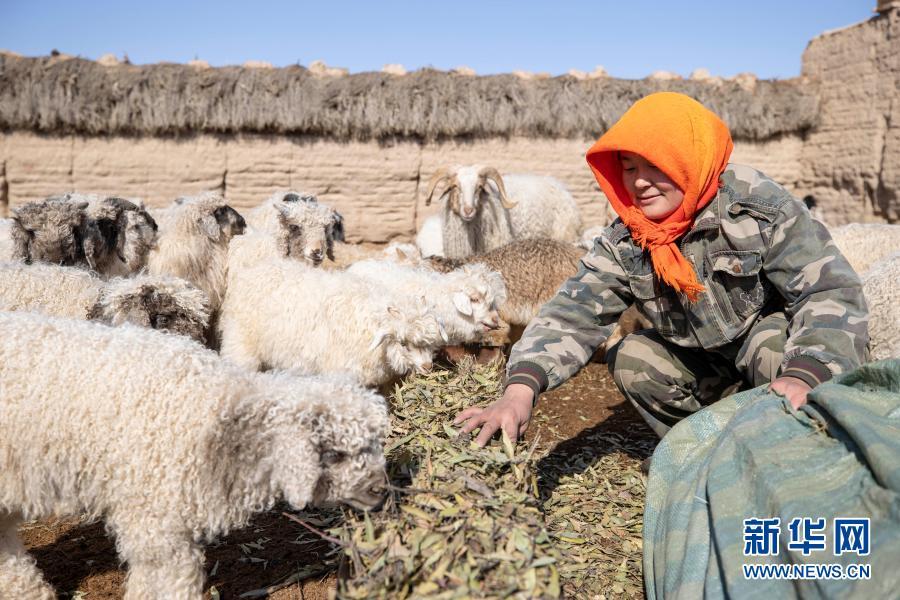 3月1日,宁夏灵武市白土岗乡海子井村,村民吴秀花在喂羊。
