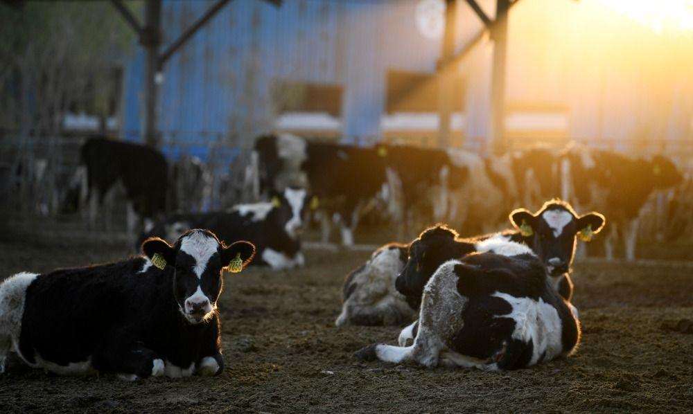 在宁夏农垦贺兰山奶业有限公司奶牛养殖园区,奶牛沐浴在落日余晖中(2020年11月8日摄)。新华社记者 王鹏 摄