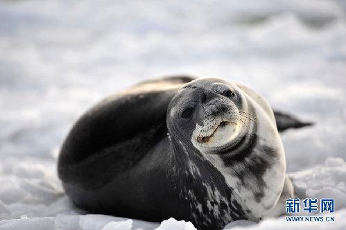 澄澈单纯的海豹