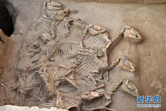 这是12月1日在宁夏彭阳县姚河塬商周遗址发掘现场拍摄的马坑