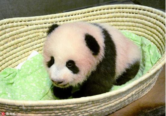 """日本东京上野动物园的熊猫宝宝""""香香"""" 图片来源:东方IC"""