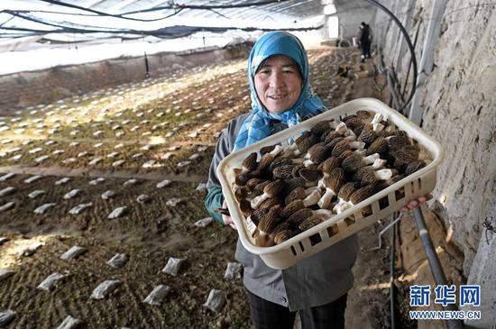 1月12日,农户在设施温棚里采收羊肚菌。