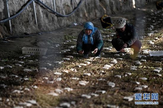 1月12日,农户在设施温棚里采摘羊肚菌。