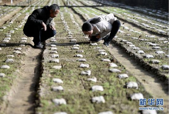1月12日,农业技术人员(右)在设施温棚里指导农户羊肚菌种植技术。