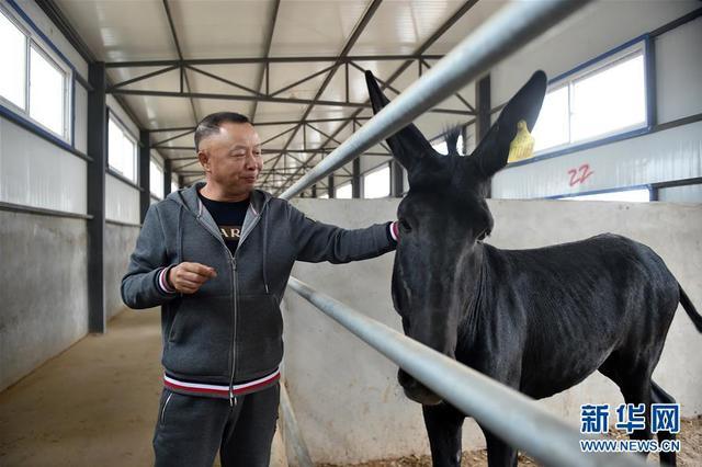 宁夏同心:黑毛驴养殖创新产业扶贫新模式