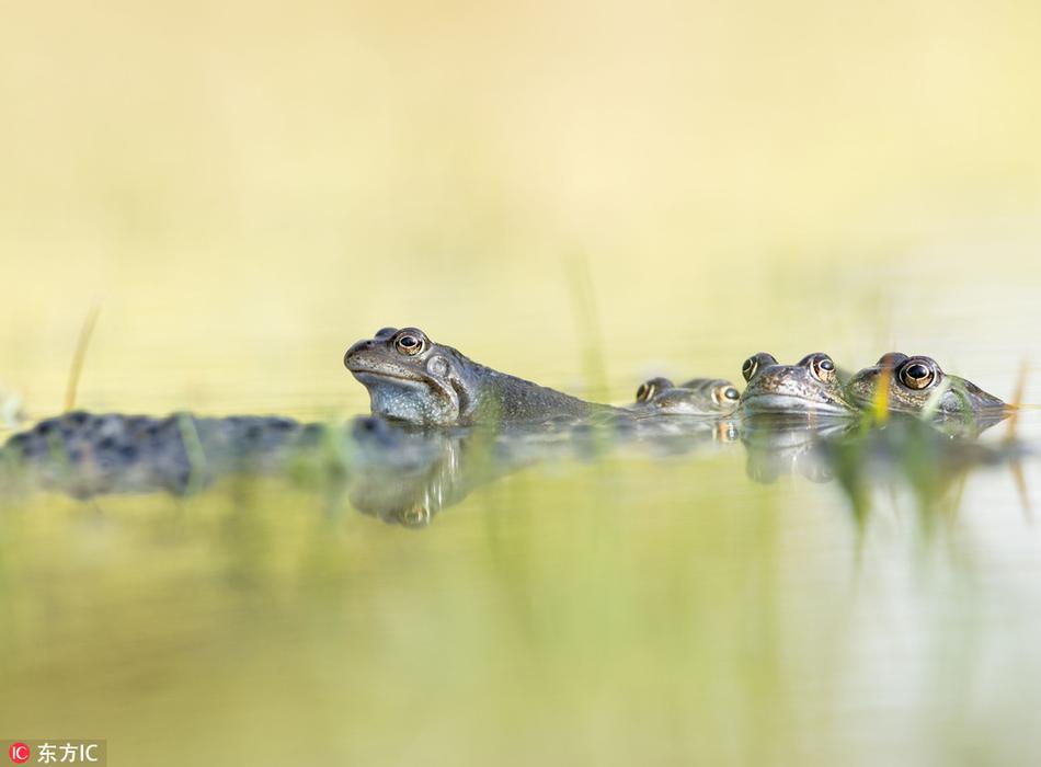 季的一个星期,青蛙们都会聚在池塘里交配.野生动物摄影师为了弄