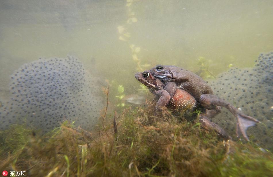 青蛙也风流 池塘聚会水下交配缠绵产卵